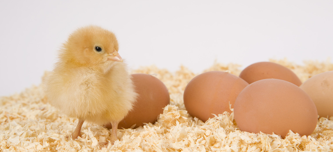 A Chick stands in bedding with farm fresh eggs on white